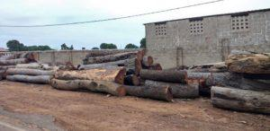 Illegal Logging - (C) Mustapha Manneh