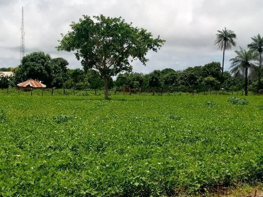 Amie's groundnut farm in Nyoffeleh